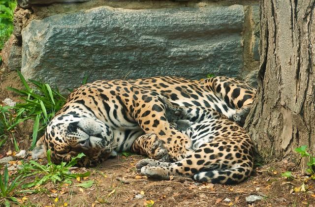 Jaguars at Rest (P1260045)