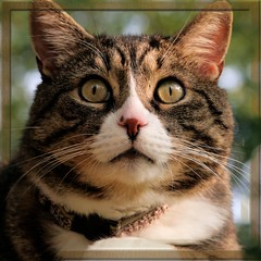 King Tre Shocked and Speechless~ (texym11-in and out :)) Tags: cat chat tabby gato adopted tre loved katzen rescued tomcat 2011 fiv threelegcat