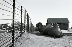 (Sergey Pozolota) Tags: blackandwhite bw film monochrome 35mm suomi finland zoo blackwhite helsinki camel rodinal canonal1 selfdevelopment manualprocessingfilm