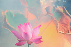 Lotus Flower - IMG_5351-1-1000 (Bahman Farzad) Tags: pink flower macro yoga peace lotus relaxing peaceful meditation therapy lotusflower lotuspetal lotuspetals lotusflowerpetals lotusflowerpetal