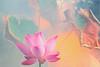Lotus Flower - IMG_5351-1-1000 (Bahman Farzad) Tags: pink flower macro yoga peace lotus relaxing peaceful meditation therapy lotusflower lotuspetal lotuspetals lotusflowerpetals lotusflowerpetal