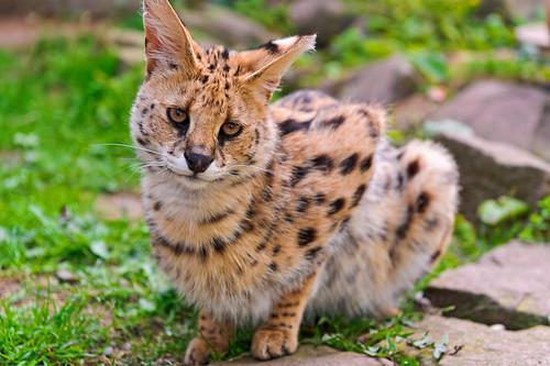 [フリー画像] 動物, 哺乳類, 猫・ネコ, サーバルキャット, 201109091100