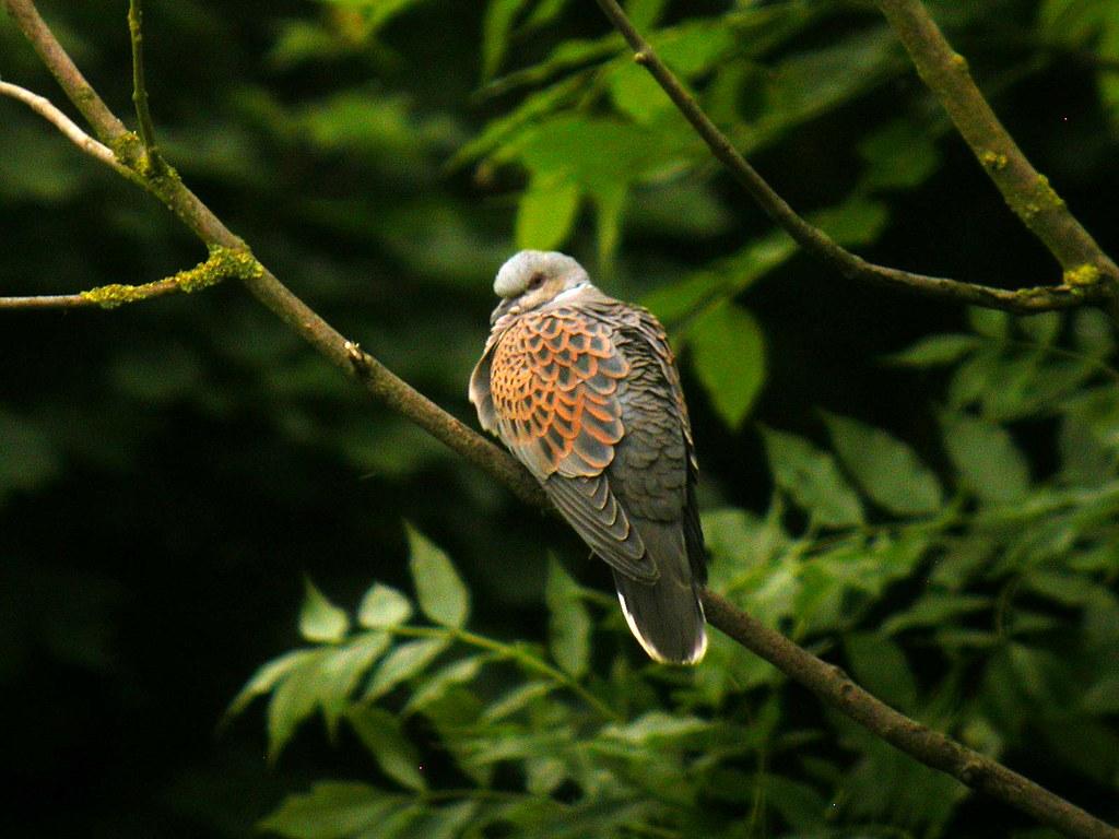 Mystery Bird European Turtle Dove Streptopelia Turtur Birds
