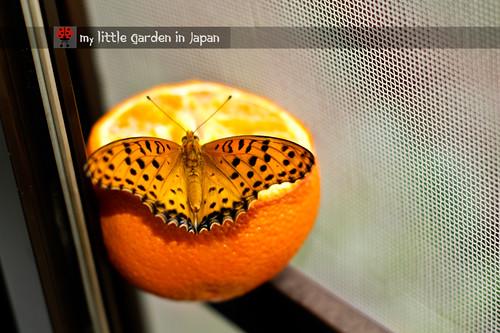butterflies-6
