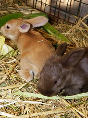 a lot of sniffing going on (ixchelbunny) Tags: baby rabbit bunny bunnies babies rabbits angora ixchel ixchelbunny