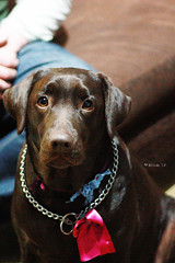 ~Pagu~ (Renata S.P.) Tags: dog cão female 50mm cachorro labradorretriever fêmea pagu canonxsi