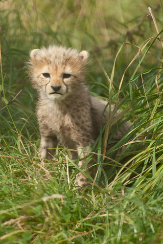 699/1000 - Baby Cheetah by Mark Carline