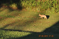 2011 Sept 7 Coyote eating apples (King Kong 911) Tags: coyote woods off apples then darting coyoteeatingapples