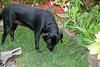 our dog loves eating grass (triciawd) Tags: dog toronto garden blacklab labradorretriever lyingdown eatinggrass