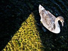 Italia - Ventimiglia (anton.it) Tags: italia niceshot 1001nights acqua luce riflesso ventimiglia cigno canong10 antonit ringexcellence flickrstruereflection1