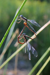 Spreadwings mating (cheryl.rose83) Tags: insect damselflies odenata