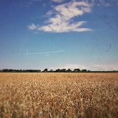 End of Summer is nearby (Veerle Pieters) Tags: field square belgium wheat westvlaanderen squareformat normal flanders tarwe ruralscenery iphoneography instagramapp uploaded:by=instagram