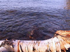 birch in the lake (Mamluke) Tags: summer lake tree nature water minnesota horizontal lago see aqua eau meer wasser lac surface boom bark northshore fallen rbol birch ripples albero acqua arbre lakesuperior baum birchbark leau mamluke