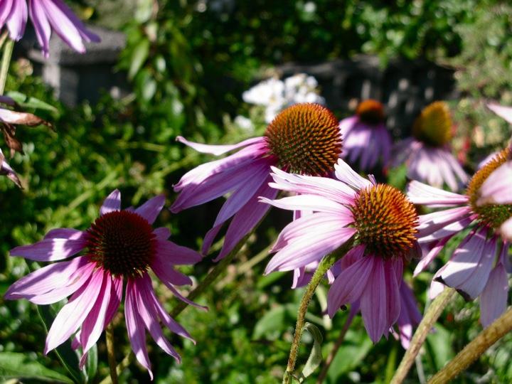 echinacea flower 002