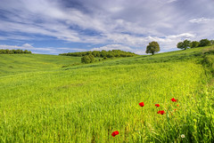 Poppies In The Green Field   [Explored] (nikolaos p.) Tags: green nature clouds landscape outdoors landscapes greece fields wildflowers halkidiki