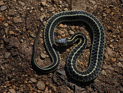 Garter Snake (ashockenberry) Tags: dblringexcellence peregrino27life