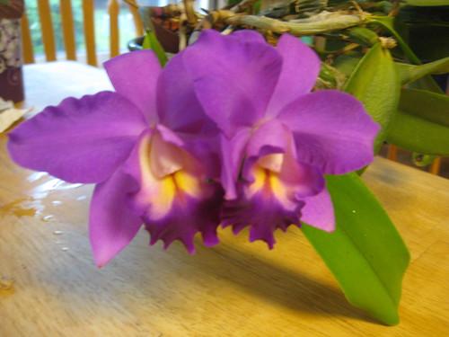 2011 08 09 cattleya orchid 002