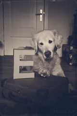 au revoir mon amour (Ciscolo) Tags: dog monochrome sepia goldenretriever cisco farewell aurevoir forella gief suchaloss forhislaaady istillcantbelievethatellasgone