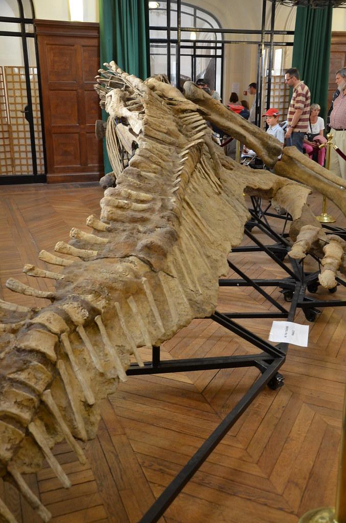 Prosaurolophus maximus - Corps