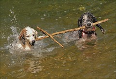 ~~Transport en commun !!~~ (Jolisa) Tags: dogs water fun nikon eau perros zip hunds chiens drle btons hlna takenwithlove
