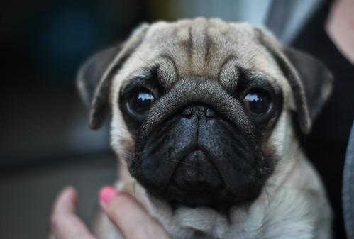 Pug Pup 2