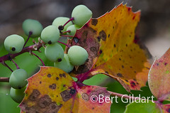 Oregon Grape-10