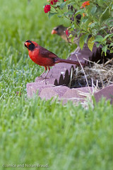 Northern Cardinals JN026590 (JaniceNolan_braud) Tags: bird yard backyard cardinal feeding matingritual northerncardinal matingbehavior