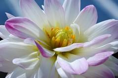 (lclower19) Tags: pink dahlia white flower yellow flora nikon nh d90 fullergardens newhampton