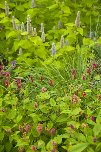 Agastache and Persicaria