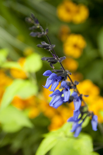 salvia and helenium