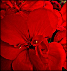 To What Shall I Compare Thee? (Steph C Kay) Tags: red love heart shakespeare finepix fujifilm geranium sonnet redgeranium hs10 sonnet18
