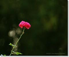 Just for you... (novida) Tags: flower e500 zd70300mm