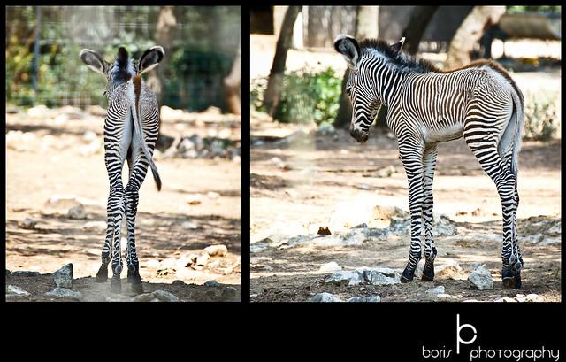 Baby Zebra zoo lunaret Montpellier