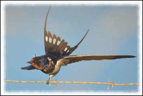 Andorinha-das-chaminés / Barn Swallow / (Hirundo rustica) by Sérgio Guerreiro