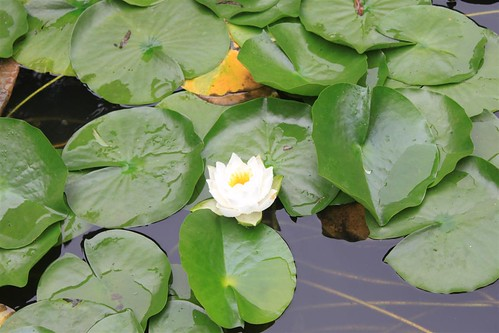 Lotus flower at Secret Garden, Changdeokgung Palace, Seoul South Korea