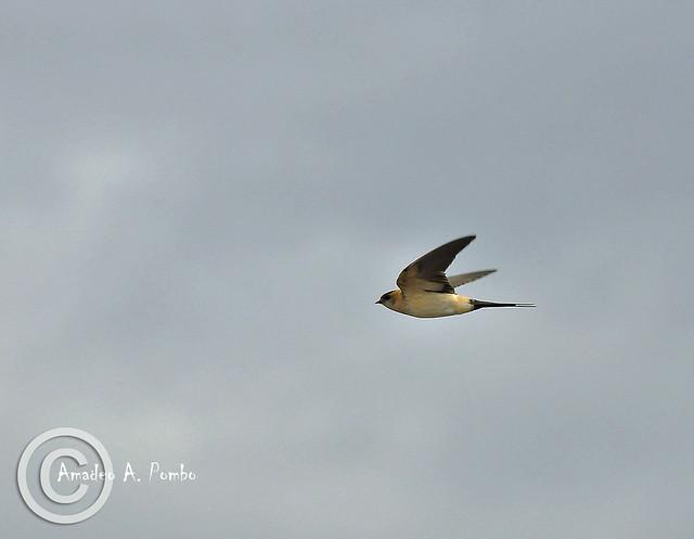 Hirundo daurica (Golondrina Daúrica)
