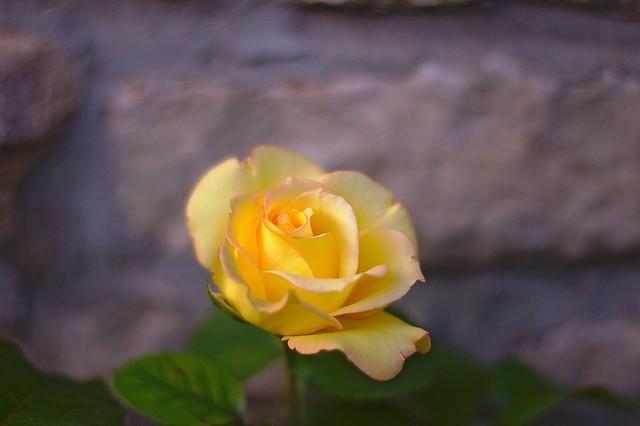 Rose jaune jeune