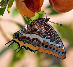 Borboleta do Medronheiro (Charaxes jasius) Two Tailed Pasha (Maria Rego) Tags: insectos portugal butterfly borboleta pala insecto ameixa baio lepidoptero charaxesjasius twotailedpasha macromarvels omeuparaso borboletadomedronheiro