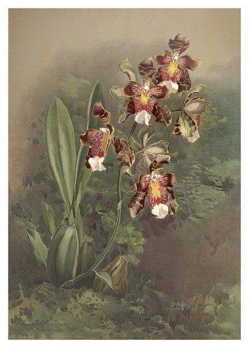 012-Odontoglossum Harryanum-Reichenbachia-Orchids illustrated and described..VolI I-1888-F.Sander