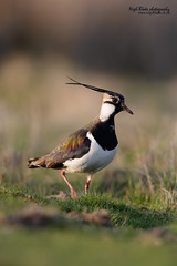 Northern Lapwing, Vanellus vanellus (Nigel Blake, 2 million views Thankyou!) Tags: bird history nature canon photography eos natural wildlife lapwing blake nigel plover wader vanellus 1dsmkii 600mm avianexcellence f4is