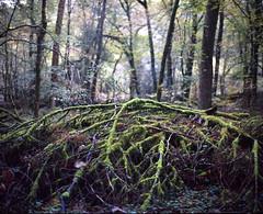 Huelgoat (Philippe Yong) Tags: autumn trees 120 mamiya film analog forest mediumformat landscape moss brittany bretagne rangefinder analogue 6x7 fort 80mm huelgoat mamiya7ii fujipro400h moyenformat pictorialism 7ii philippeyong wwwpyphotographyfr
