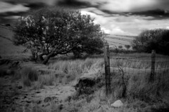 Tree in the back lane [2] (Dave Road Records) Tags: ireland blackandwhite infrared countymayo irishlandscapes lakecarrowmore