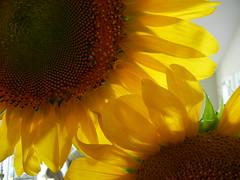 Venn Sunflowers
