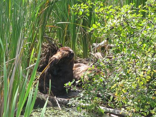 Beaver by susanvg