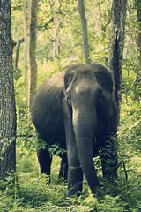 [フリー画像] 動物, 哺乳類, 象・ゾウ, 201109051100
