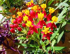 Asclepias curassavica L. .- Seidenpflanze (Marlis1) Tags: macro spain catalunya milkweed makro tortosa marlies butterflyweed seidenpflanze asclepiassp asclepiascurassavical flordelaseda