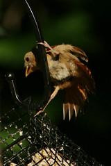 DSC06265 (dmarie13) Tags: haven birds backyard minolta sony north july ct teleconverter 2011 14x 600mm a900