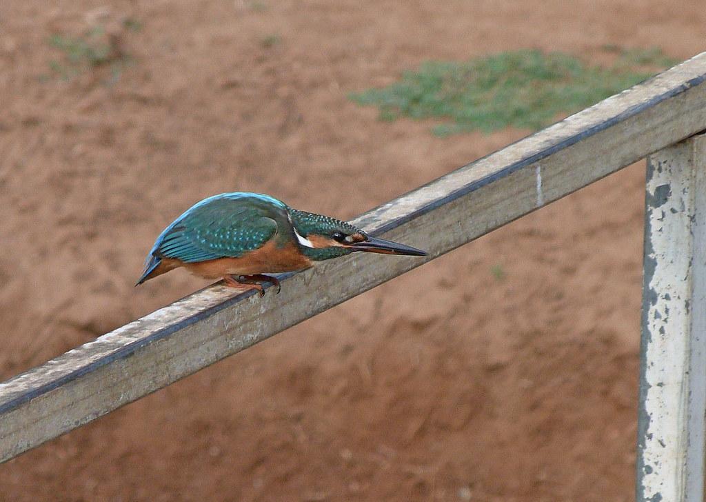 03-09-2011-kingfisher