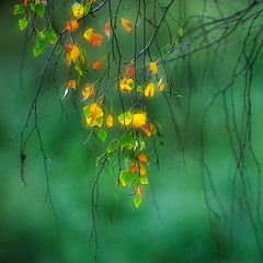 The end of summer (flowerpics09) Tags: light green nature colors day herbst dream september gelb birch grn farben mecklenburg herbstfarben birken mehrfachbelichtung d700
