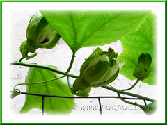 Passiflora edulis (Purple Passionfruit): right bud yet to bloom while the other 2 had already blossomed - Aug 17 2011